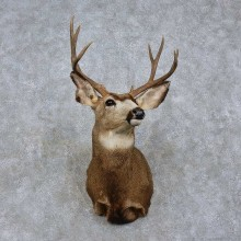 Mule Deer Shoulder Mount For Sale #15757 @ The Taxidermy Store