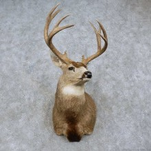 Mule Deer Shoulder Mount For Sale #15759 @ The Taxidermy Store