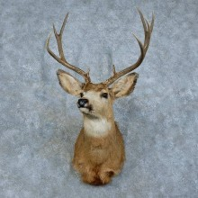 Whitetail Deer Shoulder Mount For Sale #15784 @ The Taxidermy Store