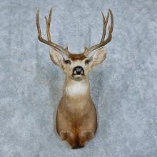 Mule Deer Shoulder Mount For Sale #15786 @ The Taxidermy Store Deer Shoulder Mount For Sale #15786 @ The Taxidermy Store