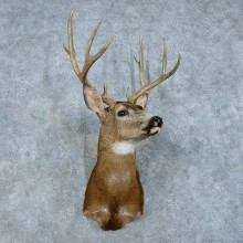 Mule Deer Shoulder Mount For Sale #15787 @ The Taxidermy Store