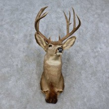 Mule Deer Shoulder Mount For Sale #15800 @ The Taxidermy Store