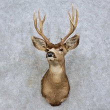 Mule Deer Taxidermy Shoulder Mount For Sale #15809 @ The Taxidermy Store