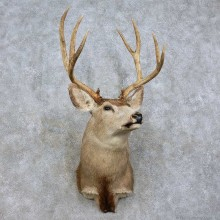 Mule Deer Shoulder Mount For Sale #15837 @ The Taxidermy Store
