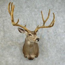 Mule Deer Shoulder Mount For Sale #16118 @ The Taxidermy Store