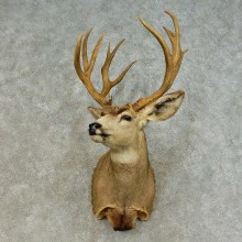 Mule Deer Shoulder Mount For Sale #16393 @ The Taxidermy Store