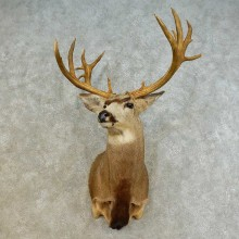 Mule Deer Shoulder Mount For Sale #16520 @ The Taxidermy Store