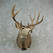 Mule Deer Shoulder Mount For Sale #17005 @ The Taxidermy Store