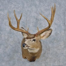 Mule Deer Shoulder Taxidermy Head Mount #12556 For Sale @ The Taxidermy Store