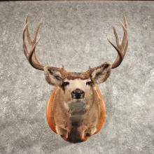 Mule Deer Shoulder Mount #11448 - For Sale - The Taxidermy Store