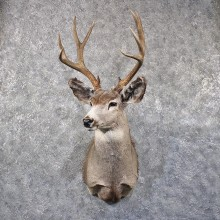 Mule Deer Shoulder Mount #11855 For Sale @ The Taxidermy Store
