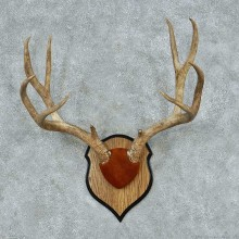 Mule Deer Antler Plaque Mount #13782 For Sale @ The Taxidermy Store