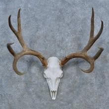 Mule Deer Skull Antler European Mount For Sale #15272 @ The Taxidermy Store