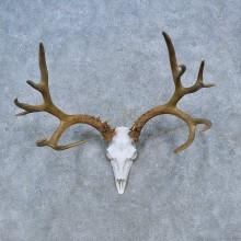 Mule Deer Skull Antler European Mount For Sale #15313 @ The Taxidermy Store