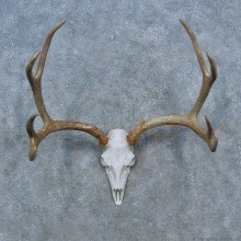Whitetail Deer Antler Plaque Mount For Sale #15436 @ The Taxidermy Store