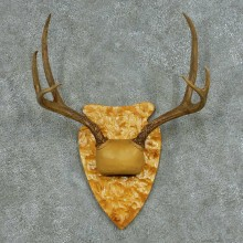 Rocky Mountain Elk Skull & Horns Mount #13683 For Sale @ The Taxidermy Store
