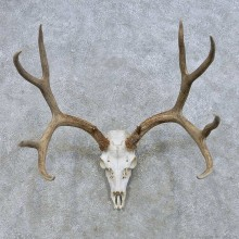 Mule Deer Skull European Mount For Sale #14653 @ The Taxidermy Store