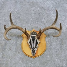 Mule Deer Skull European Mount For Sale #14660 @ The Taxidermy Store
