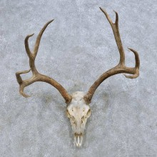 Mule Deer Skull European Mount For Sale #14677 @ The Taxidermy Store