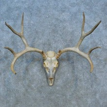 Mule Deer Skull Antler European Mount For Sale #15525 @ The Taxidermy Store