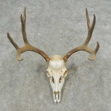Mule Deer Skull European Mount For Sale #16620 @ The Taxidermy Store