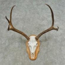 Mule Deer Skull European Mount For Sale #16625 @ The Taxidermy Store