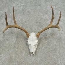 Mule Deer Skull European Mount For Sale #16630 @ The Taxidermy Store