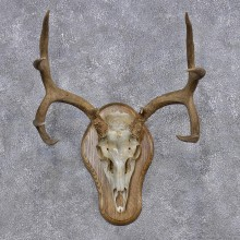 Mule Deer Taxidermy Antler Plaque Mount #10105 For Sale @ The Taxidermy Store