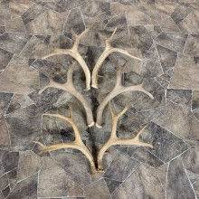 Mule Deer Antler Craft Pack For Sale #21830 @ The Taxidermy Store