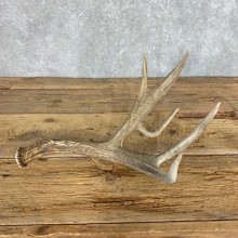 Mule Deer Antler Shed For Sale #21503 @ The Taxidermy Store