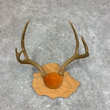 Mule Deer Plaque Taxidermy Mount #22023 For Sale @ The Taxidermy Store