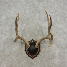 Mule Deer Taxidermy European Antler Plaque #17309 For Sale @ The Taxidermy Store