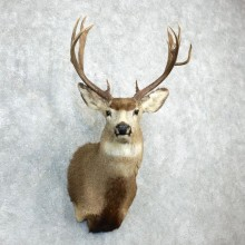 Mule Deer Shoulder Mount For Sale #18278 @ The Taxidermy Store