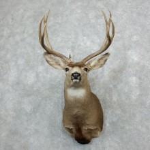 Mule Deer Shoulder Mount For Sale #18280 @ The Taxidermy Store
