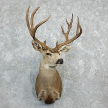 Mule Deer Shoulder Mount For Sale #18283 @ The Taxidermy Store