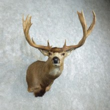Mule Deer Shoulder Mount For Sale #18512 - The Taxidermy Store