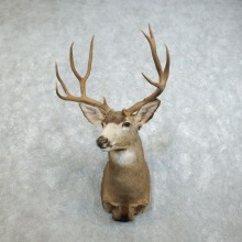 Mule Deer Shoulder Mount For Sale #18529 @ The Taxidermy Store