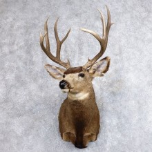 Mule Deer Shoulder Mount For Sale #18638 @ The Taxidermy Store