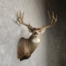 Mule Deer Shoulder Mount For Sale #18870 - The Taxidermy Store