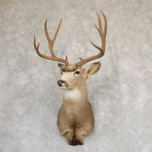Mule Deer Shoulder Mount For Sale #18987 @ The Taxidermy Store
