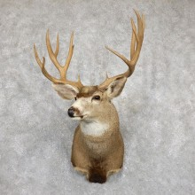 Mule Deer Shoulder Mount For Sale #19454 @ The Taxidermy Store
