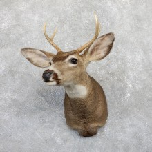 Mule Deer Shoulder Mount For Sale #19563 @ The Taxidermy Store