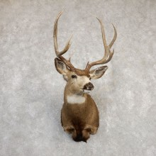 Mule Deer Shoulder Mount For Sale #20257 @ The Taxidermy Store