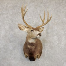 Mule Deer Shoulder Mount For Sale #20259 @ The Taxidermy Store