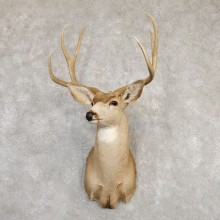 Mule Deer Shoulder Mount For Sale #20260 @ The Taxidermy Store