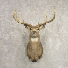 Mule Deer Shoulder Mount For Sale #20492 @ The Taxidermy Store
