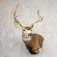Mule Deer Shoulder Mount For Sale #21075 @ The Taxidermy Store