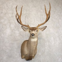 Mule Deer Shoulder Mount For Sale #22169 @ The Taxidermy Store