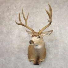 Mule Deer Shoulder Mount For Sale #22171 @ The Taxidermy Store