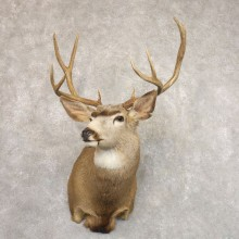 Mule Deer Shoulder Mount For Sale #22192 @ The Taxidermy Store